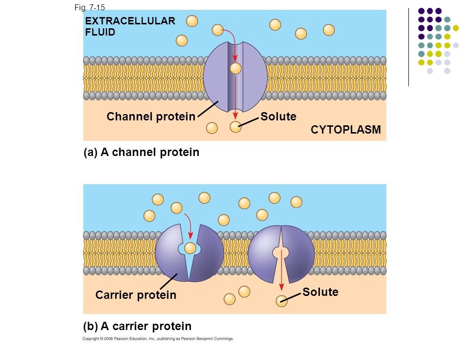 Channel protein Solute (a) A channel protein Solute Carrier protein