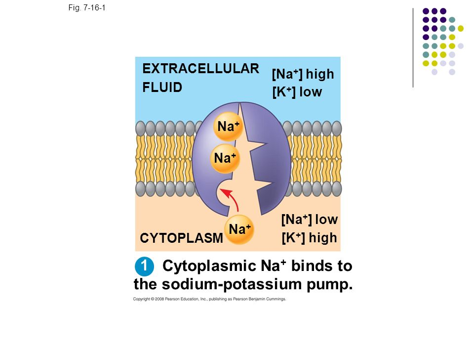 Cytoplasmic Na+ binds to