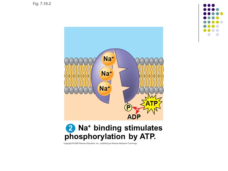 Na+ binding stimulates