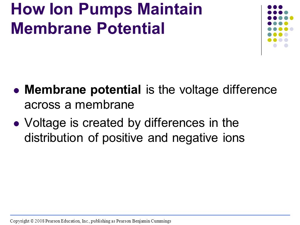 How Ion Pumps Maintain Membrane Potential
