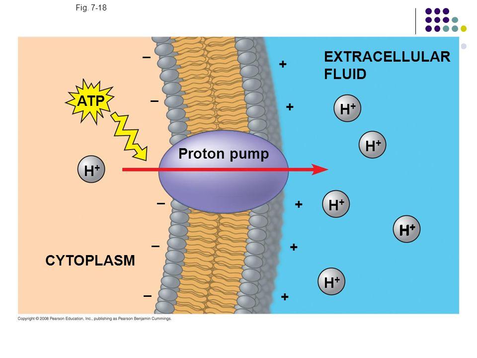 – EXTRACELLULAR FLUID + ATP – + H+ H+ Proton pump H+ – + H+ H+ H+ – +