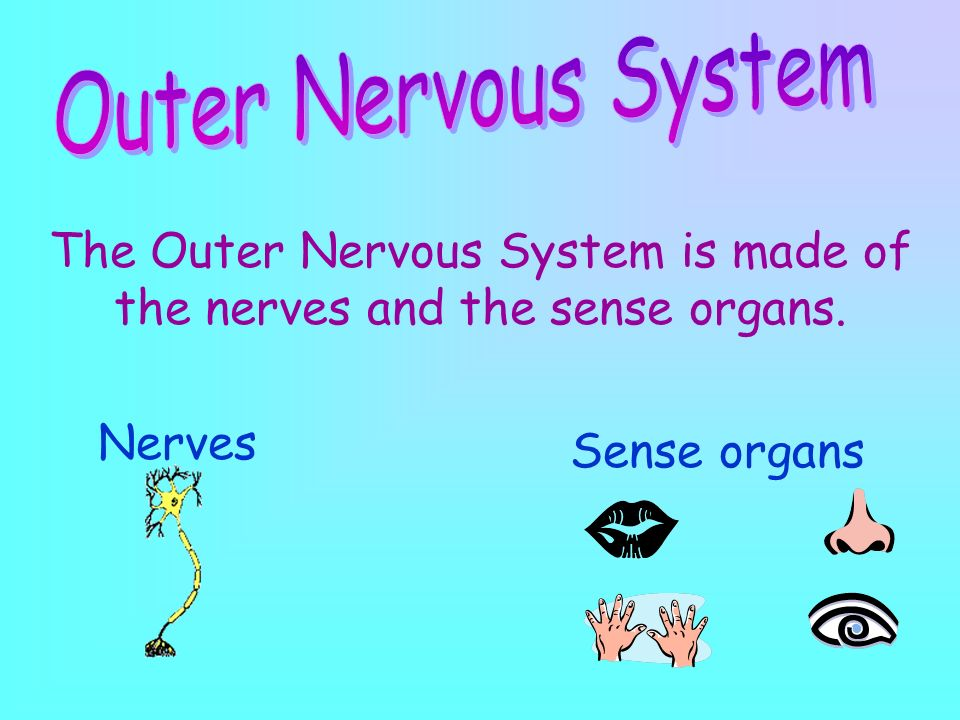 The Outer Nervous System is made of the nerves and the sense organs.