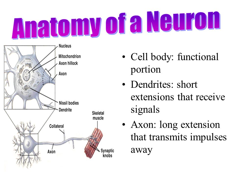 Anatomy of a Neuron Cell body: functional portion