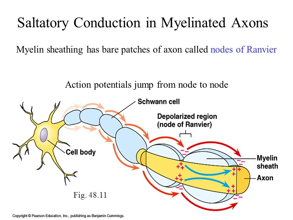 Saltatory Conduction in Myelinated Axons
