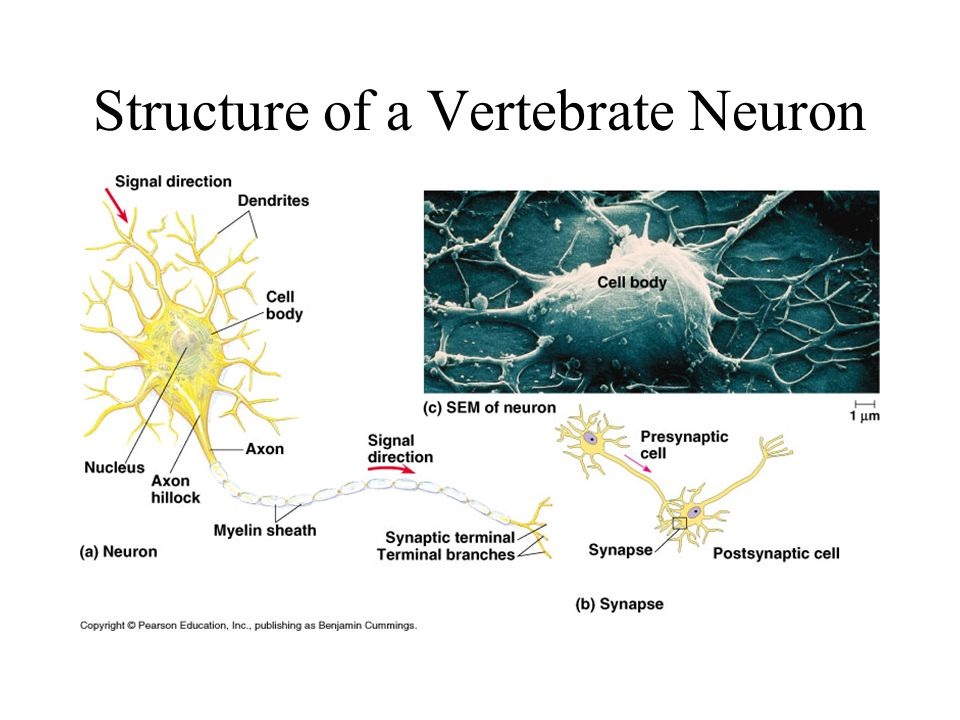Structure of a Vertebrate Neuron