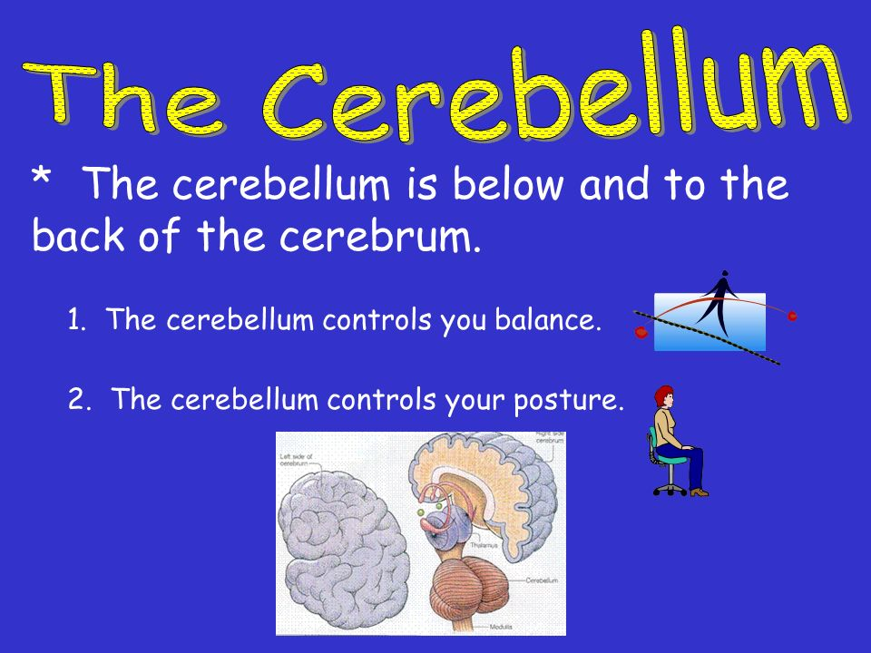 * The cerebellum is below and to the back of the cerebrum.