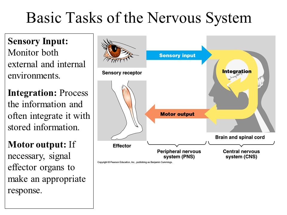 Basic Tasks of the Nervous System