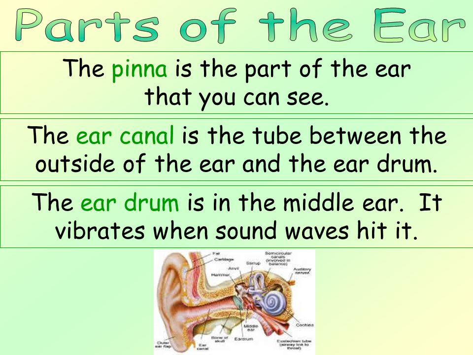 The pinna is the part of the ear that you can see.