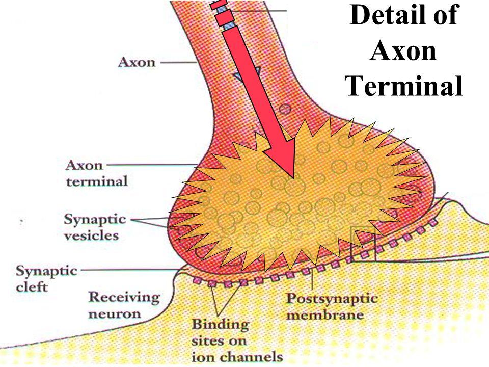 Detail of Axon Terminal