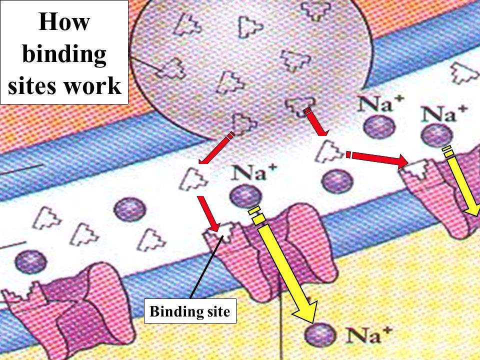 How binding sites work Binding site