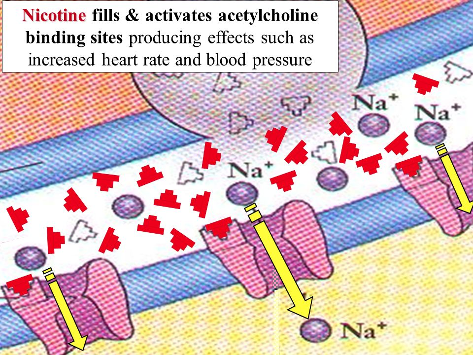 Nicotine fills & activates acetylcholine binding sites producing effects such as increased heart rate and blood pressure