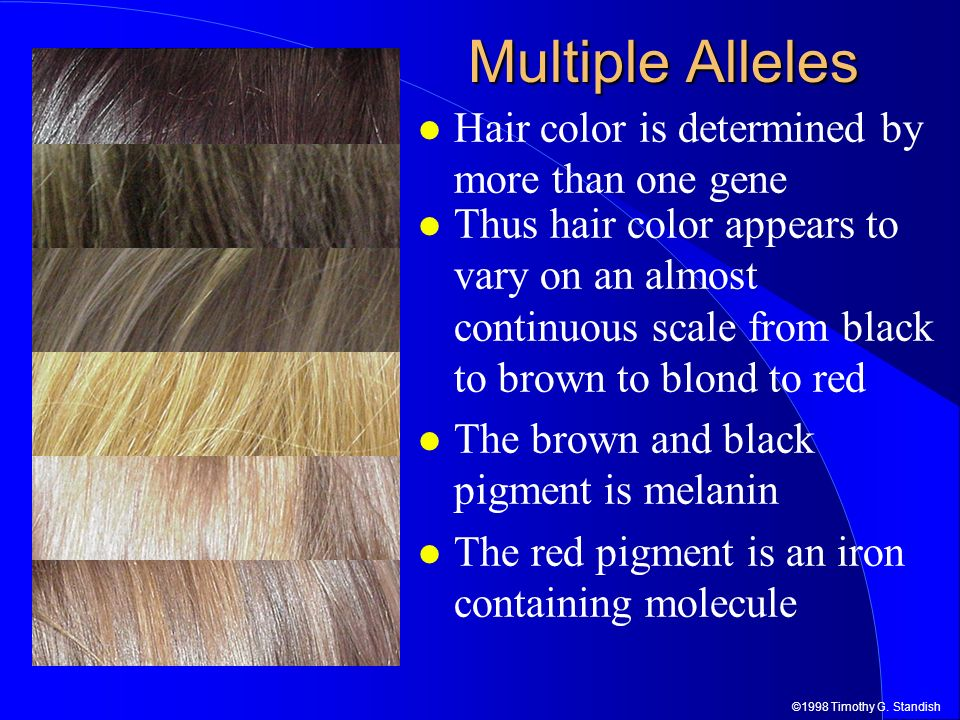 Multiple Alleles Hair color is determined by more than one gene