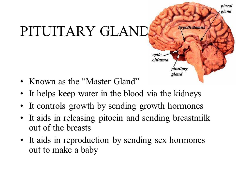PITUITARY GLAND Known as the Master Gland