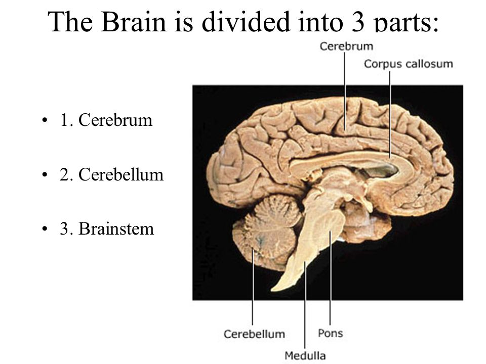 The Brain is divided into 3 parts: