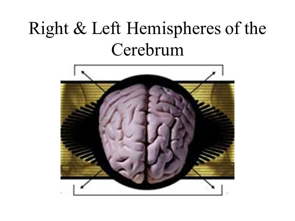Right & Left Hemispheres of the Cerebrum