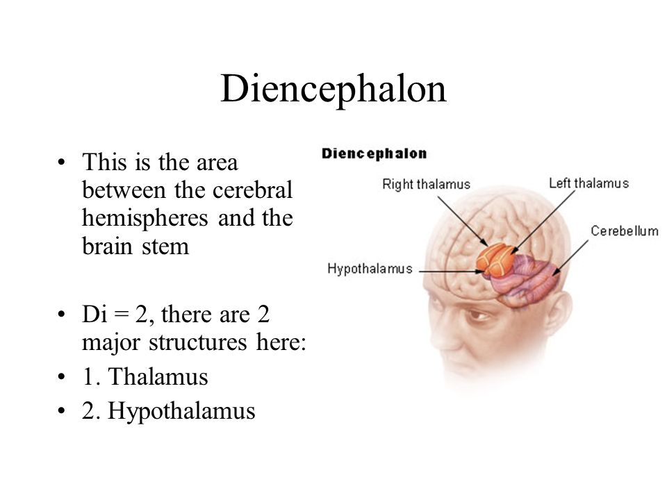 Diencephalon This is the area between the cerebral hemispheres and the brain stem. Di = 2, there are 2 major structures here: