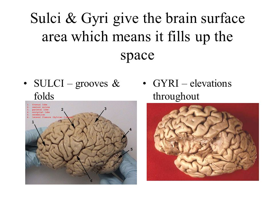 Sulci & Gyri give the brain surface area which means it fills up the space