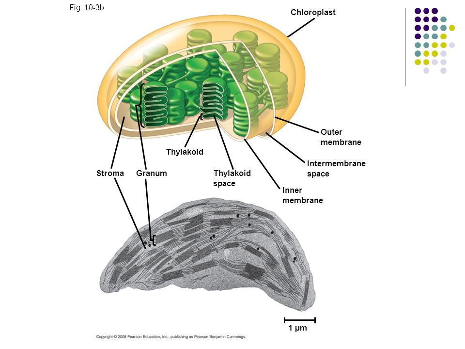Chloroplast Outer membrane Thylakoid Intermembrane space Stroma Granum