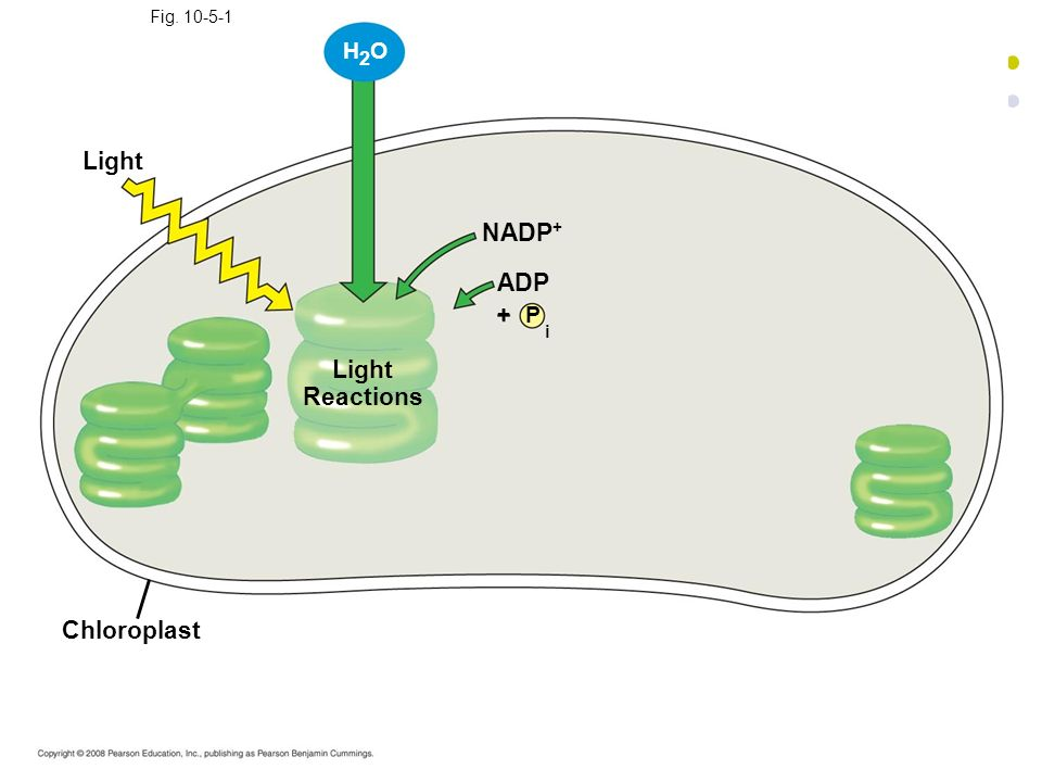 i Light NADP+ ADP Light Reactions Chloroplast H2O + P Fig. 10-5-1