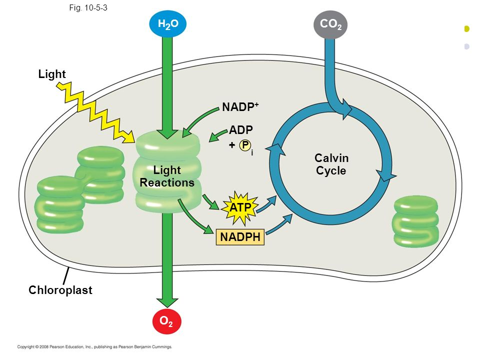 i CO2 Light NADP+ ADP Calvin Cycle Light Reactions ATP NADPH