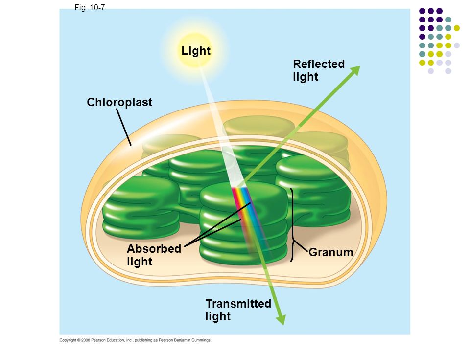Light Reflected light Chloroplast Absorbed Granum light Transmitted