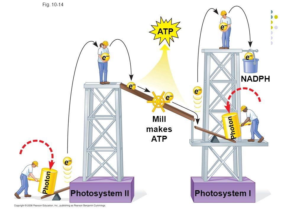 ATP NADPH Mill makes ATP Photosystem II Photosystem I e– e– e– e– e–