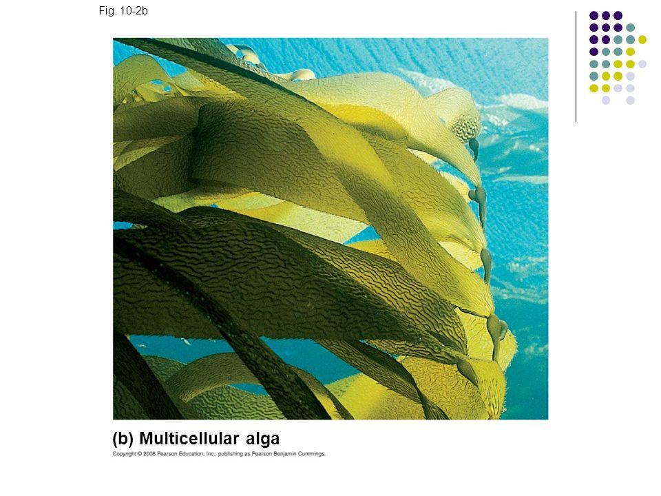 (b) Multicellular alga