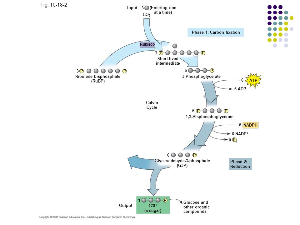 Fig. 10-18-2 Figure 10.18 The Calvin cycle Input 3 (Entering one