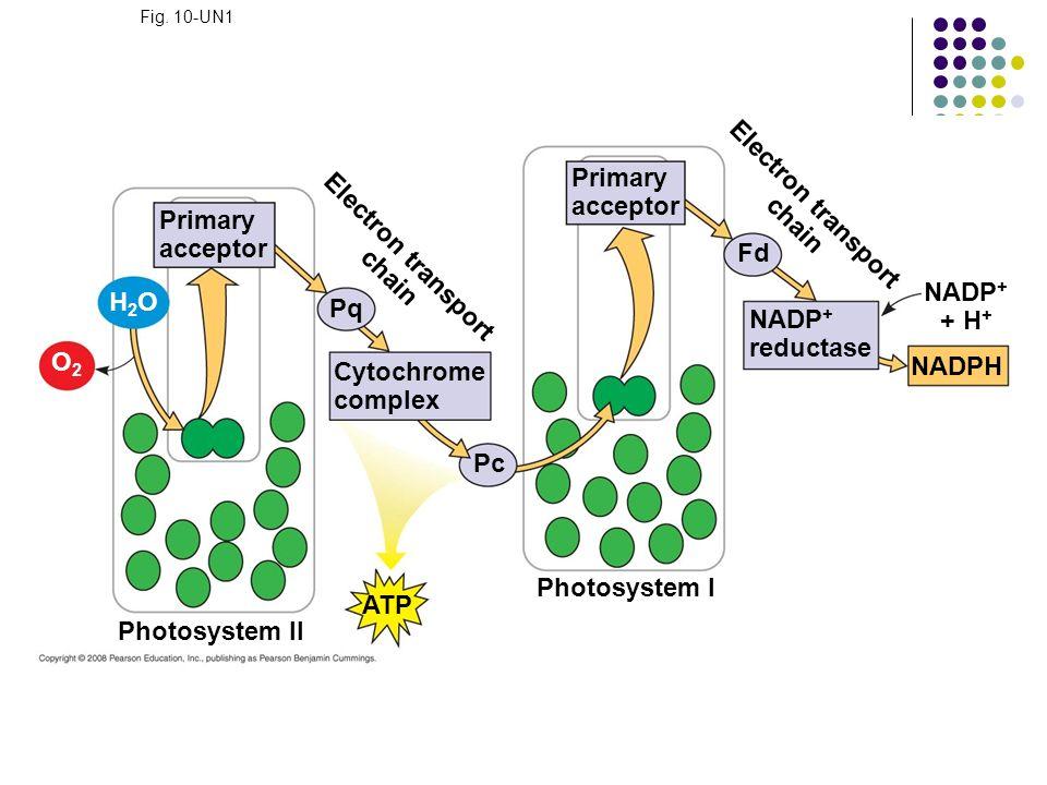 Electron transport chain Electron transport chain NADP+ + H+
