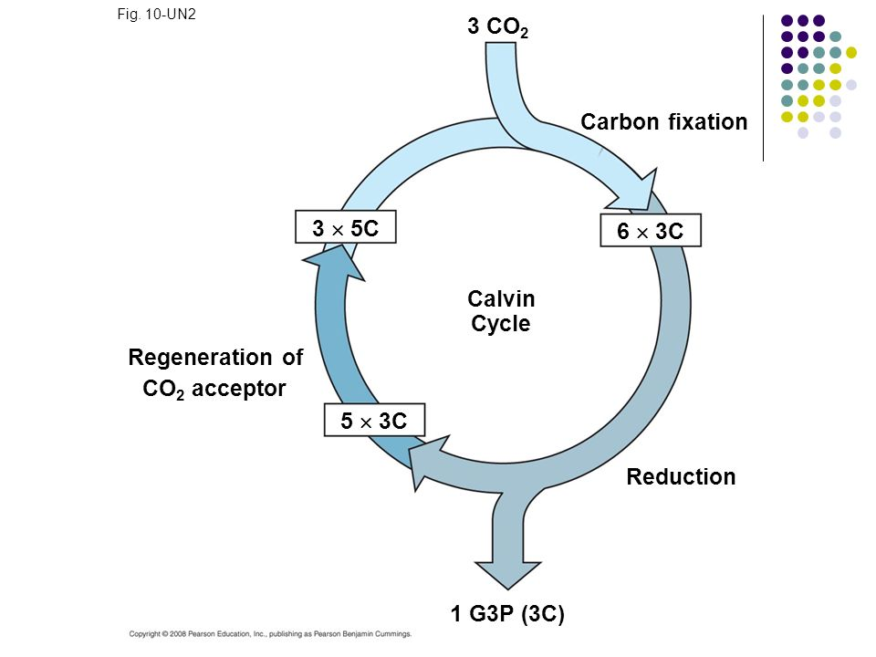3  5C 6  3C Calvin Cycle Regeneration of CO2 acceptor 5  3C