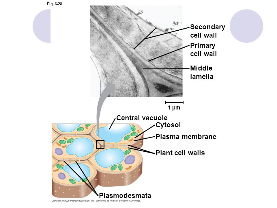 Secondary cell wall Primary cell wall Middle lamella Central vacuole