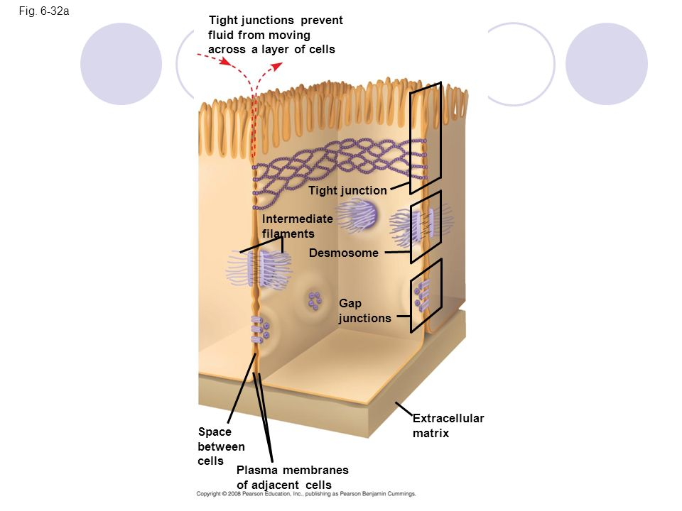 Tight junctions prevent fluid from moving across a layer of cells