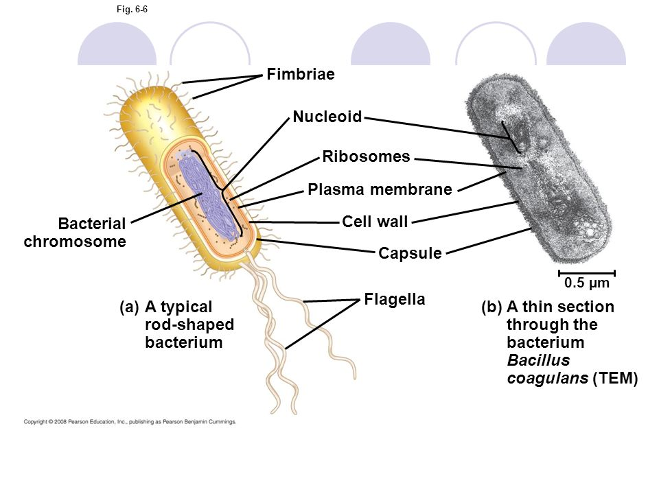 A typical rod-shaped bacterium (b)