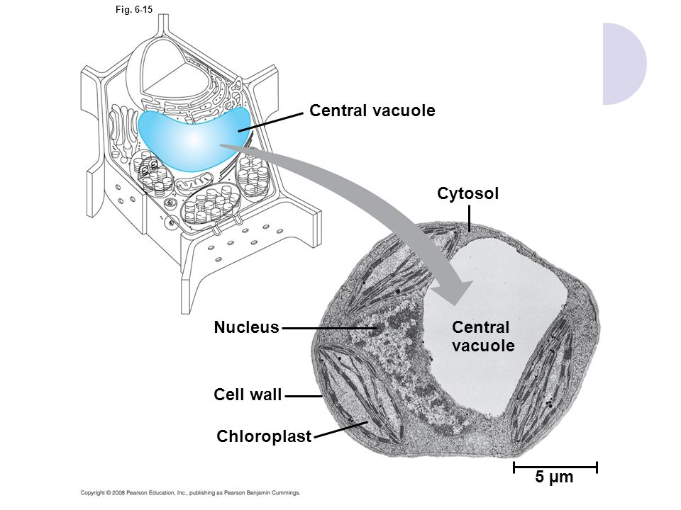 Central vacuole Cytosol Nucleus Central vacuole Cell wall Chloroplast