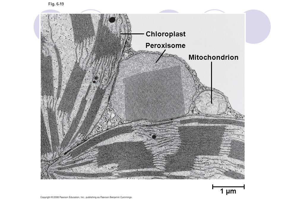 Chloroplast Peroxisome Mitochondrion 1 µm Figure 6.19 A peroxisome