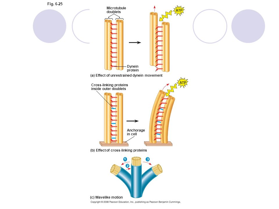 Figure 6.25 How dynein walking moves flagella and cilia