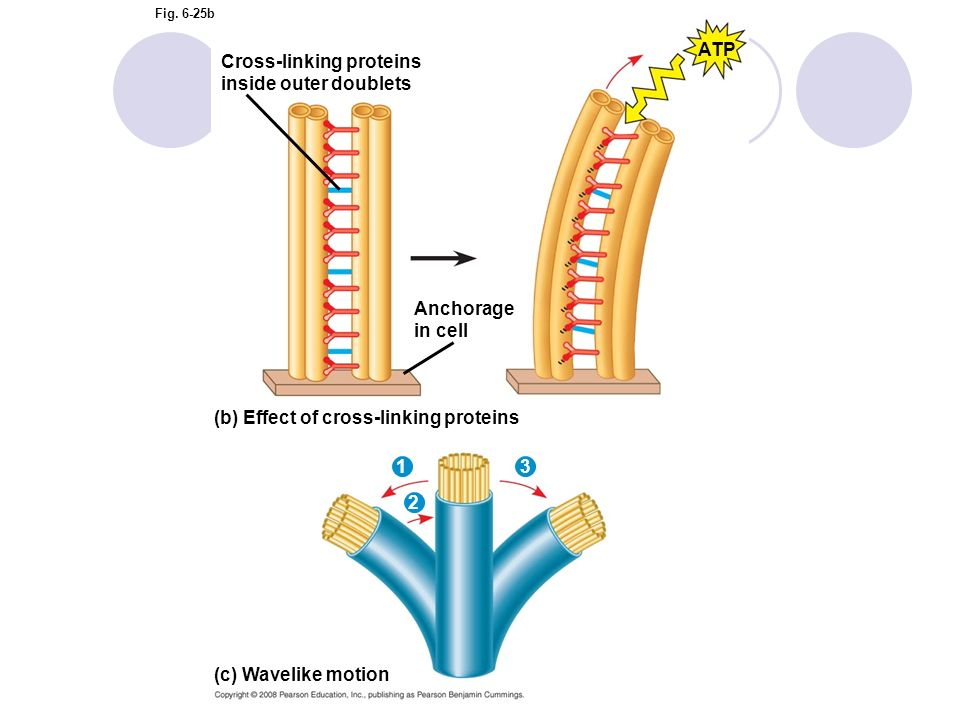 Cross-linking proteins inside outer doublets