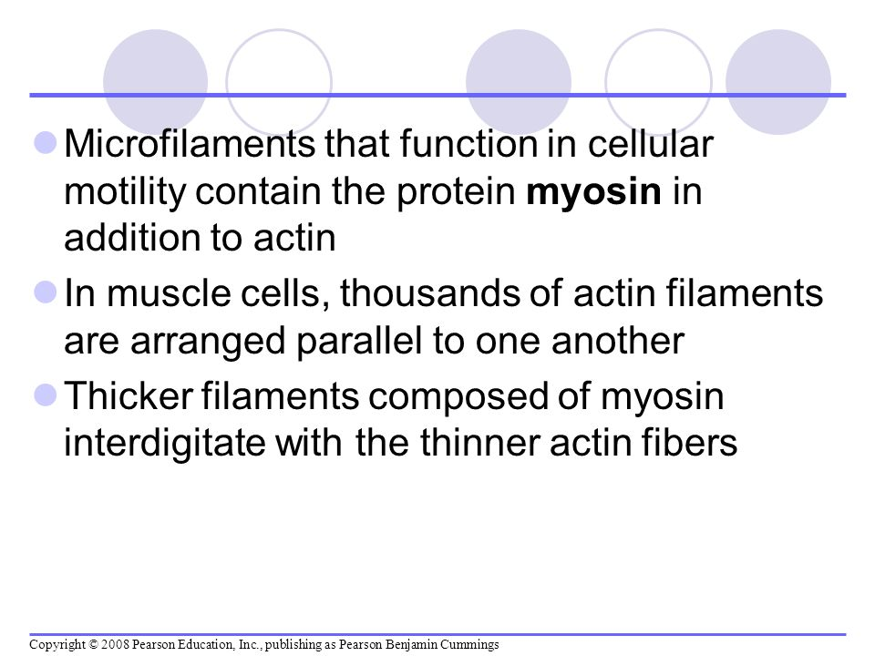 Microfilaments that function in cellular motility contain the protein myosin in addition to actin