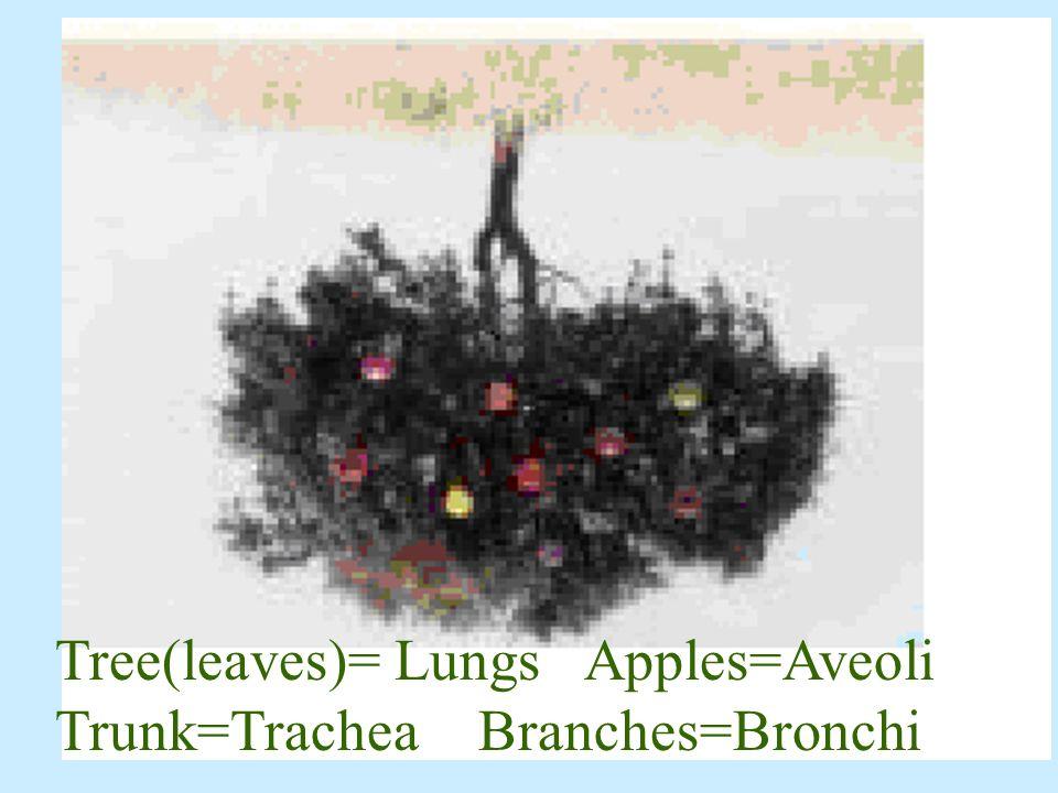 Tree(leaves)= Lungs Apples=Aveoli