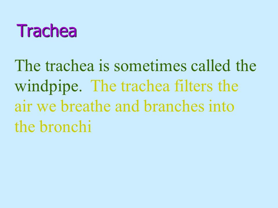 Trachea The trachea is sometimes called the windpipe.
