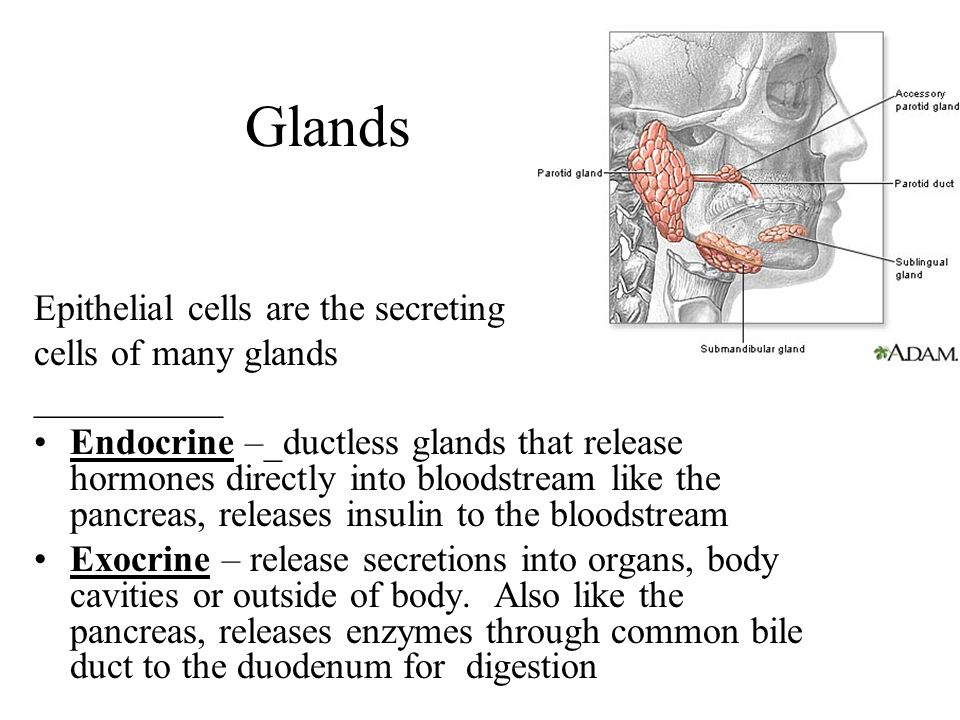 Glands Epithelial cells are the secreting cells of many glands