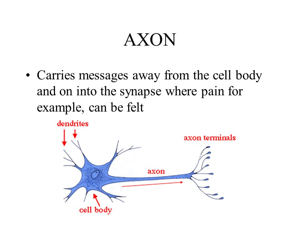 AXON Carries messages away from the cell body and on into the synapse where pain for example, can be felt.