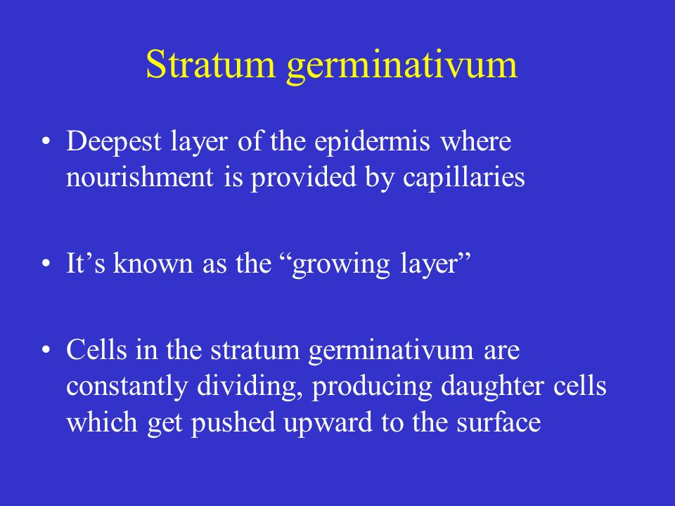 Stratum germinativum Deepest layer of the epidermis where nourishment is provided by capillaries. It's known as the growing layer