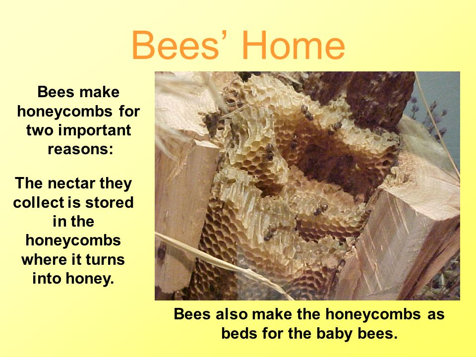 Bees' Home Bees make honeycombs for two important reasons: