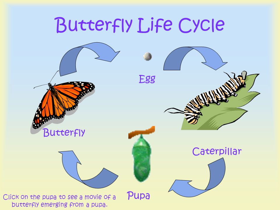 Click on the pupa to see a movie of a butterfly emerging from a pupa.