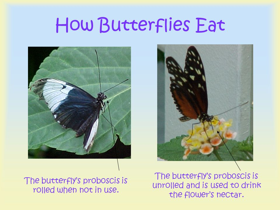 The butterfly's proboscis is rolled when not in use.