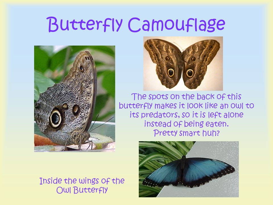 Inside the wings of the Owl Butterfly