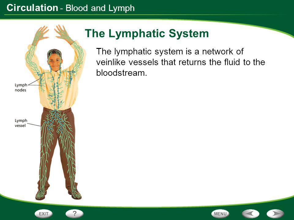 The Lymphatic System - Blood and Lymph