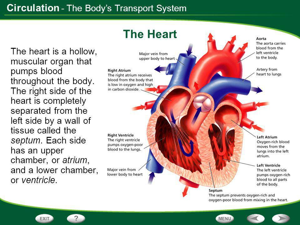 The Heart - The Body's Transport System