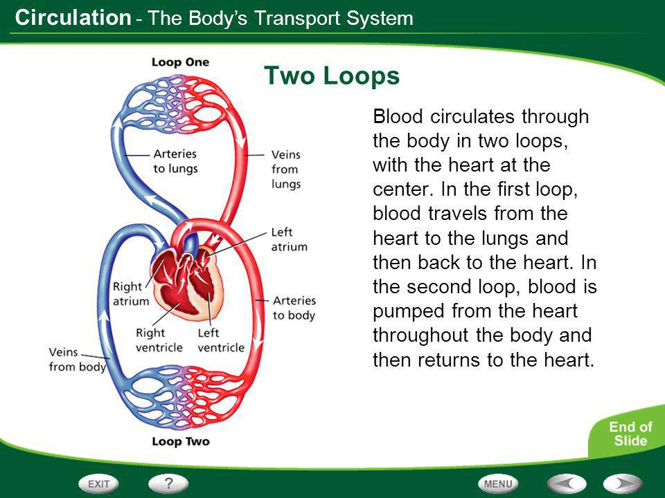 Two Loops - The Body's Transport System